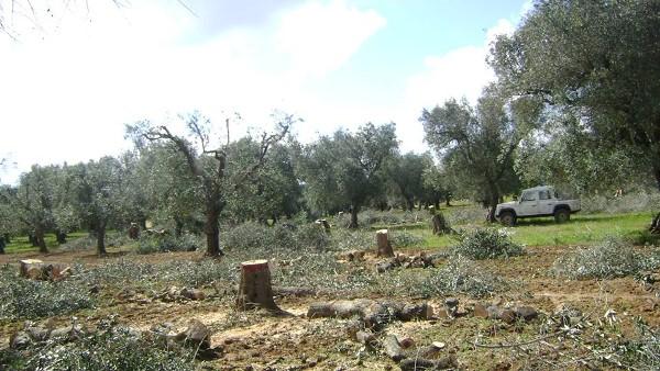 Alberi di olivi eradicati